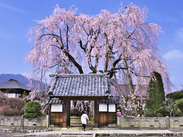 【わびさび】 しだれ桜