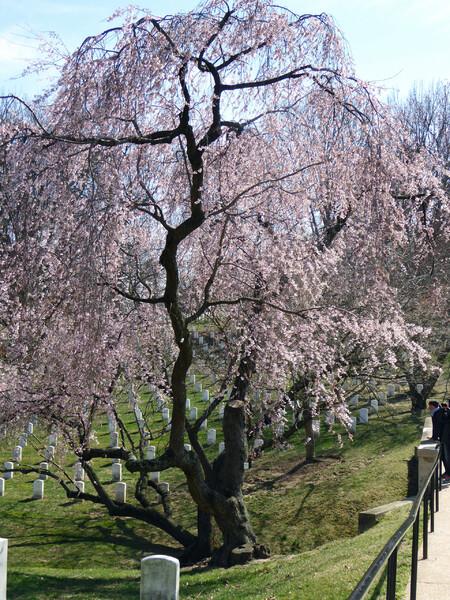 アーリントンの枝垂桜