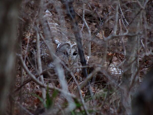 フクロウの狩り-その2
