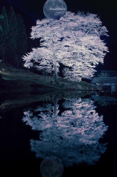 【情景】苗代桜ライトアップ