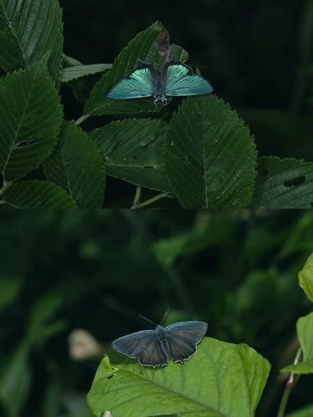 何方側から撮影するかで表翅の発色が異なるジョウザンミドリシジミ