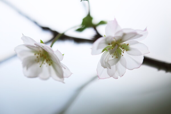 本当の秋桜(あきざくら)