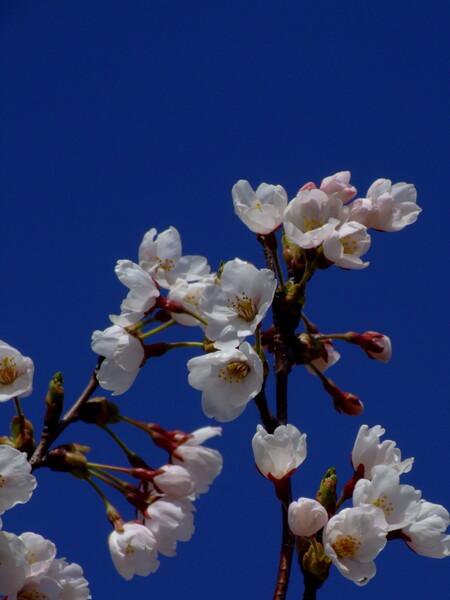 [写楽]梅は咲いたか桜はまだか