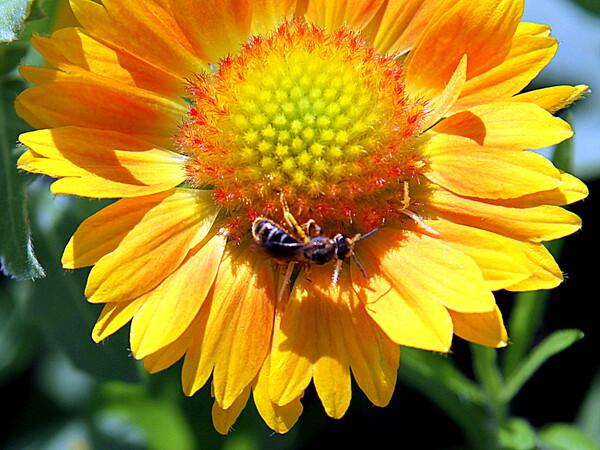 特攻花と蜂