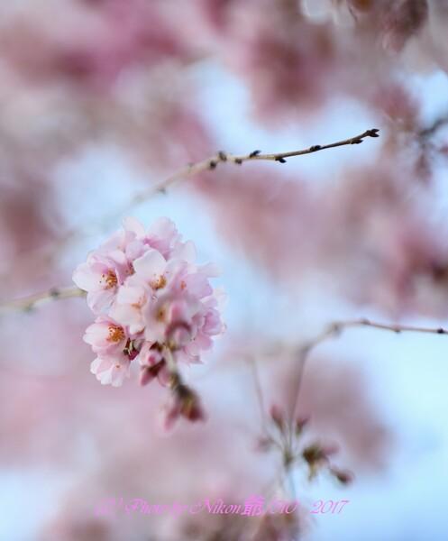 2018/03/22の桜