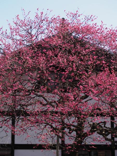 梅ぶき屋根