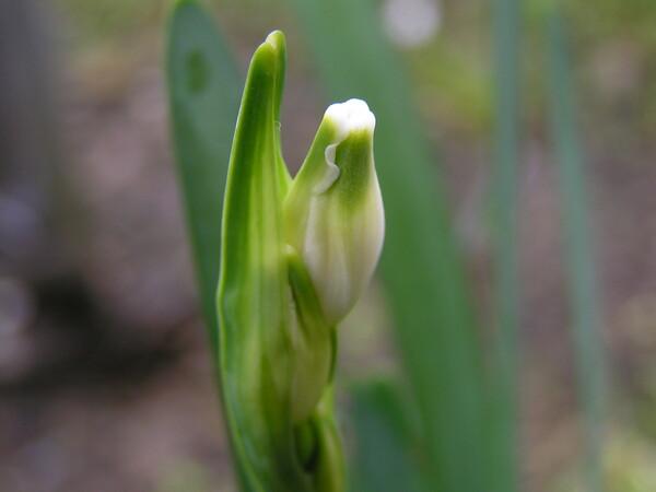 庭に植えたスズラン水仙