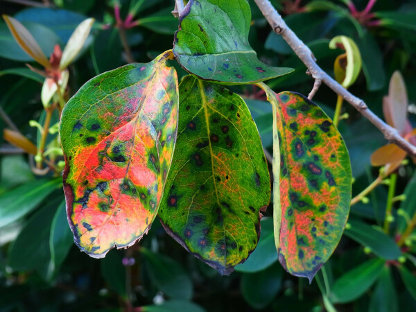 柿の葉の紅葉