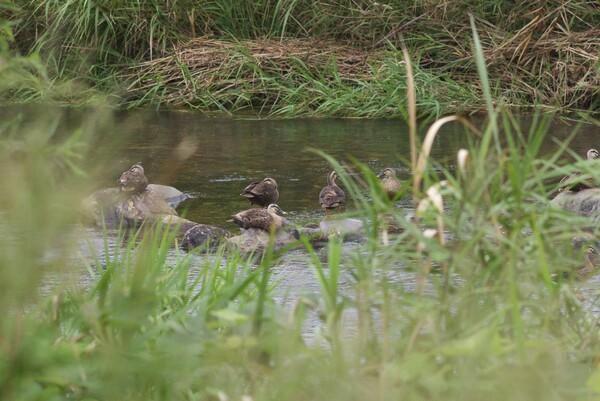 蒲生川の鴨をそっと盗撮?