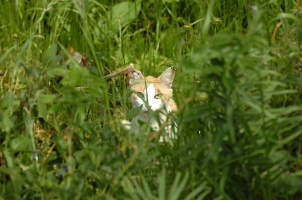 草むらのネコ