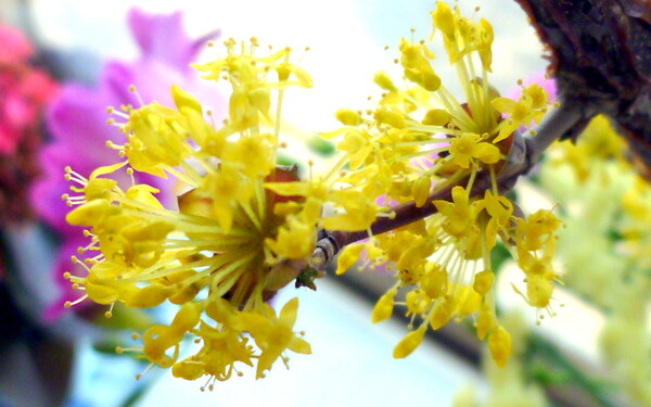 【淡彩】切り花のサンシュユ