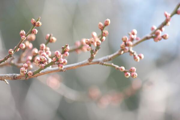 春待ちの香り