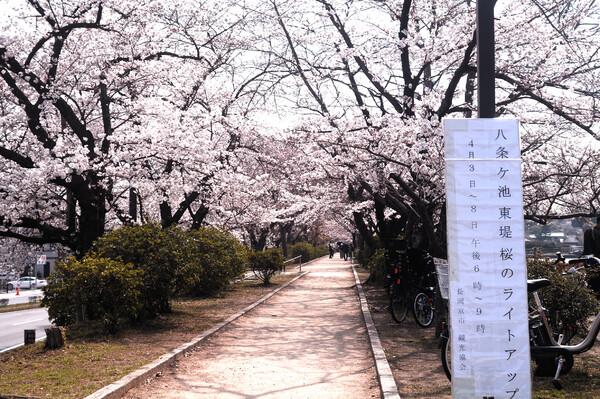 毎日通う桜並木