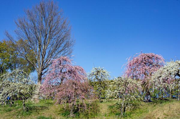 【春景】春爛漫日