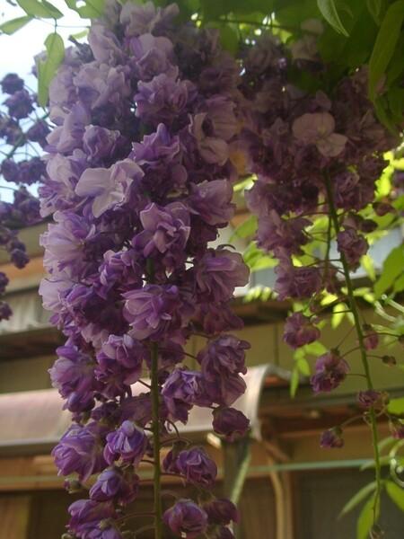 八重咲き・藤の花