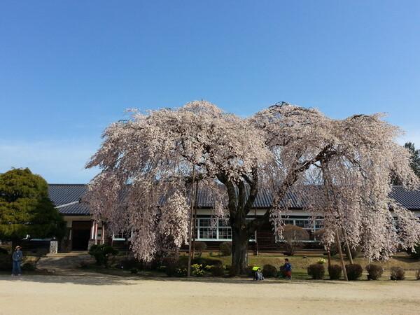 ボクの【心】しだれ桜を見たい!