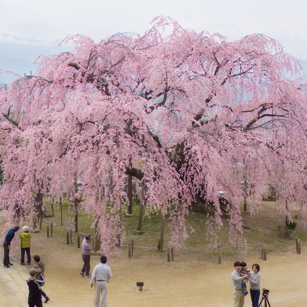 【スクエア】舞台桜