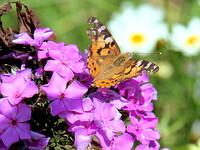 フロックスとヒメアカタテハ蝶