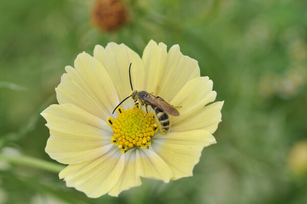 ハラナガミツバチ