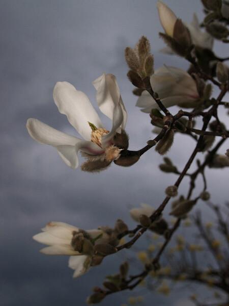 庭のこぶしと曇り空