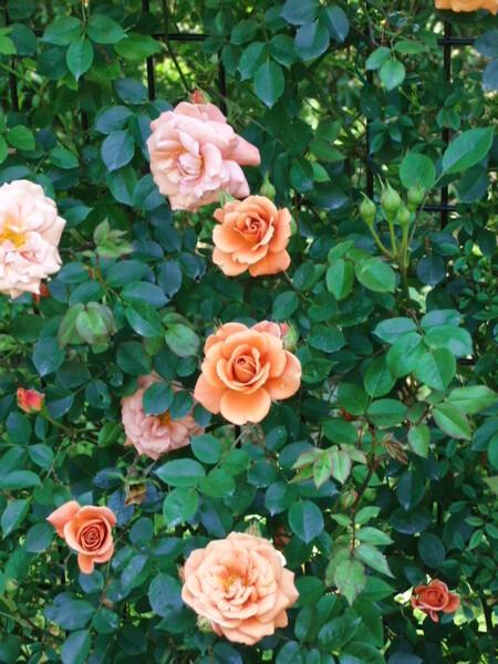 薔薇の季節ですね