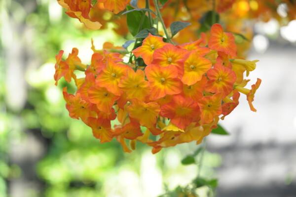 かんざしのようなオレンジ花(^^;
