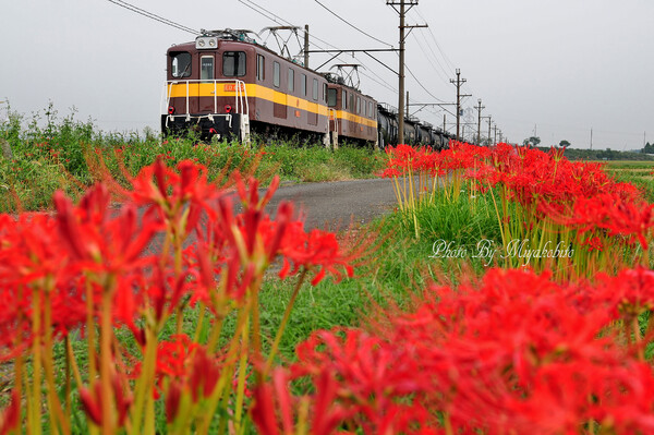 彼岸花と三岐鉄道