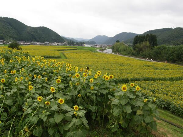 佐用町のひまわり畑(その2)