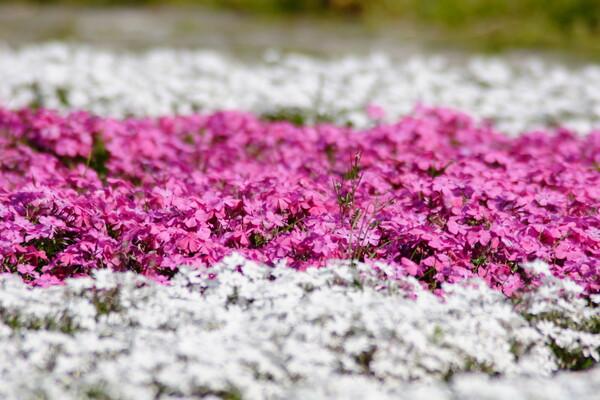公園の芝桜