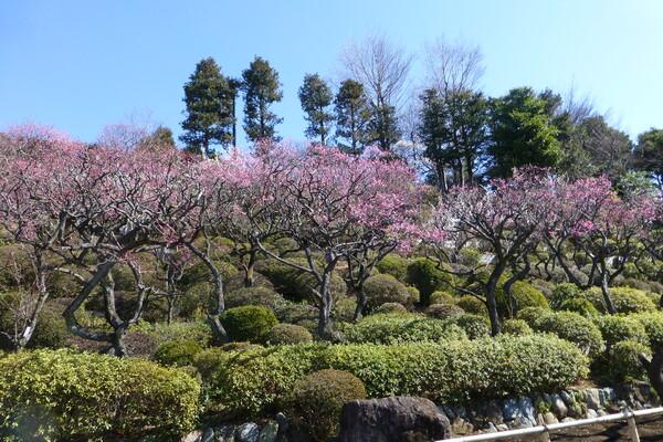 『我が故郷』の花(区の花)は「梅」です
