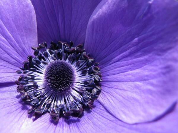 アネモネの紫紺
