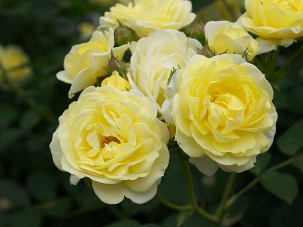 【トキメキの色】白薔薇