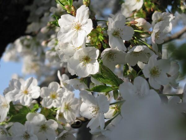 大島桜?ですかね
