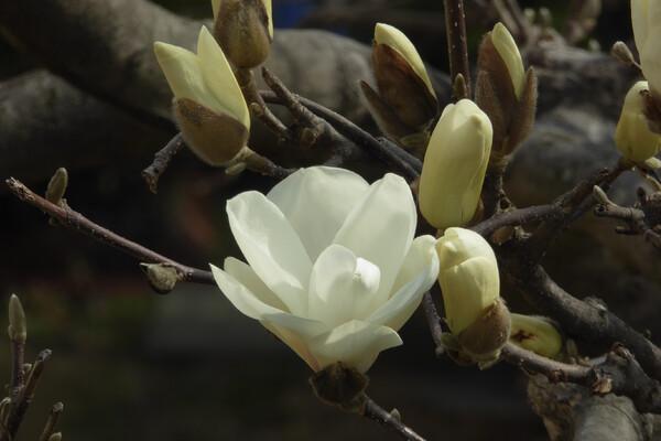 白木蓮開花