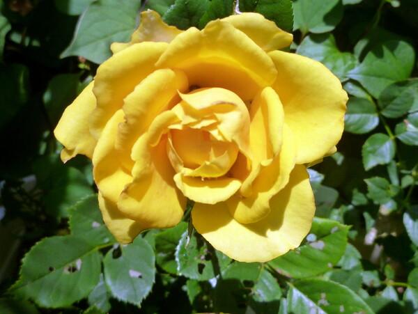 黄色なバラ