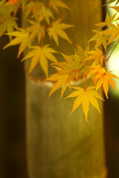 竹モミジ Ⅱ