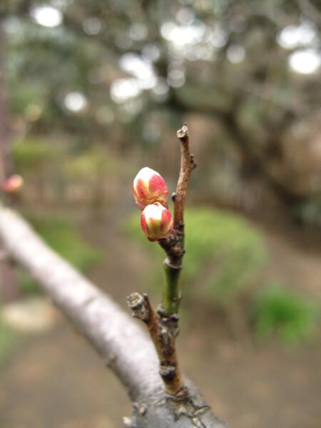 [わびさび] 梅の蕾
