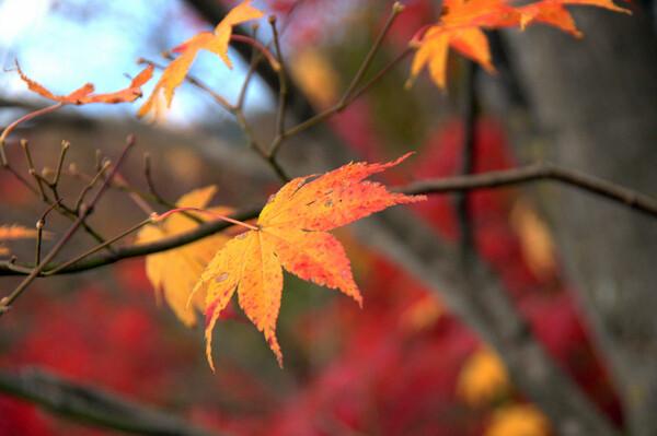 【紅】色の背景に黄葉が合いました