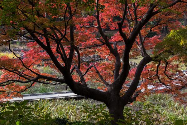 昭和記念公園の紅葉2