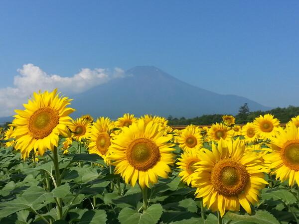 【夏】富士山とひまわり