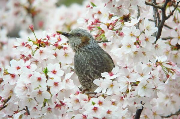桜ひよどり