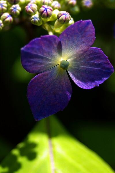 咲き始め(山紫陽花)