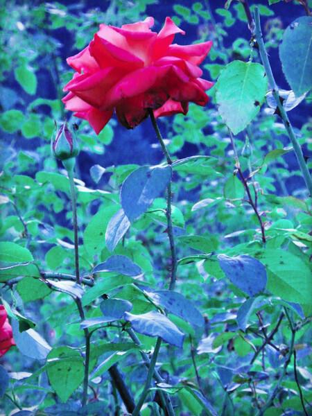 秋の黄昏の薔薇