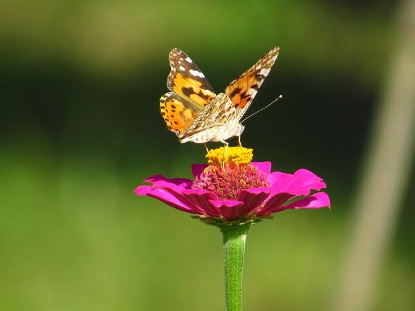 超望遠の蝶