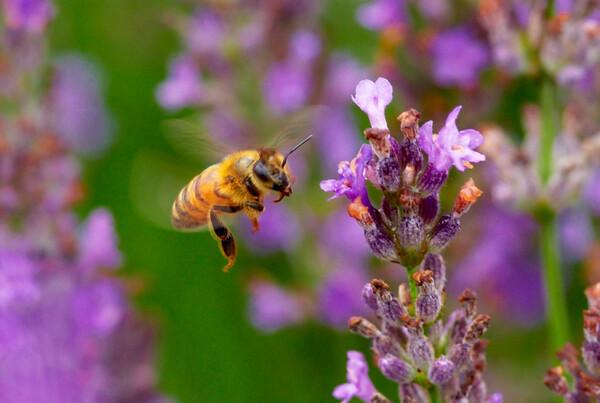 「スピード」 ミツバチの飛翔
