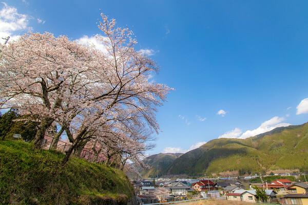 通りがかり桜木風景