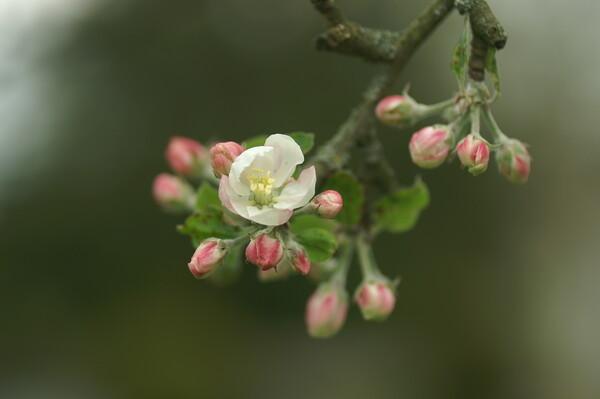 りんごが咲いた