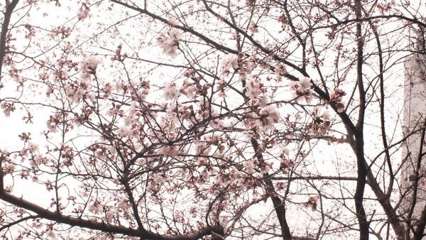 筑波大学にて 桜