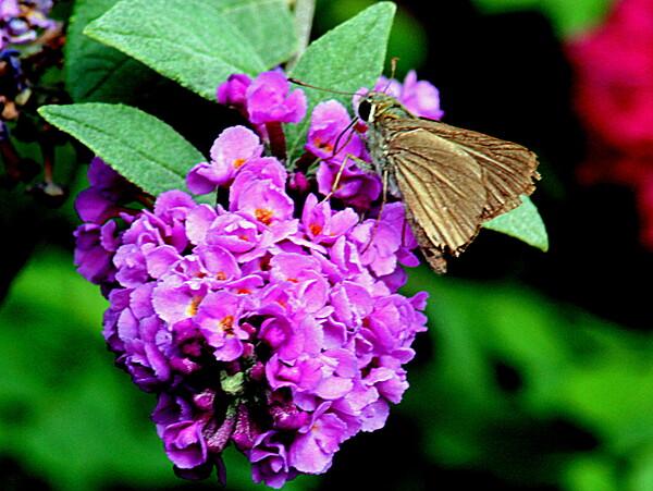 ブッドレアに留まる小さい蝶