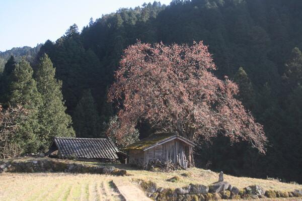根羽村の柿